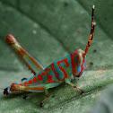Grasshopper Nympth