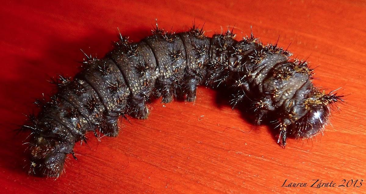 Buckmoth Caterpillar