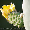 Prickly Pear flower