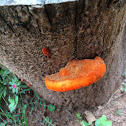 Red polypore