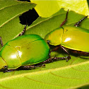 Leaf Chafer Beetles
