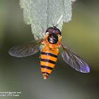Hoverflies,flower flies, syrphid flies