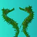 Thorny/Spiny Seahorse