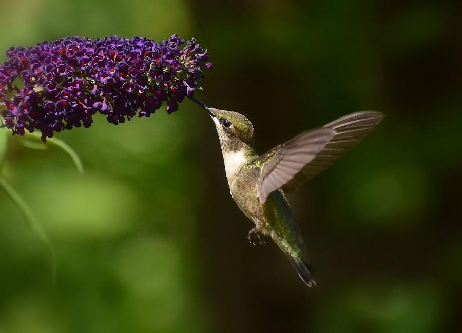 Ruby-throated Hummingbird, Female by Liz Crono - Animals Birds ( flight, hummingbird, ruby-throated, birds )