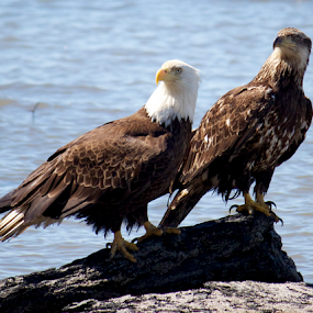 Young and Old by Ava Bethlenfalvy-Pitts - Animals Birds ( eagle, mature, alaska, young )