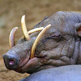 Babirusa's teething problem. Time to visit my dentist by Leong Jeam Wong - Animals Other Mammals ( animals, mandai, zoo, boar, tusk, babirusa, zoological garden, wild boar, teeth, mammal, singapore,  )