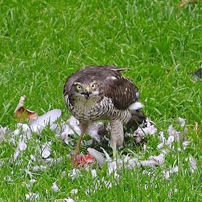 Lunch by Carla Maloco - Animals Birds ( bird, sparrowhawk, bird of prey, wildlife, raptor, prey,  )