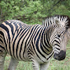 Zebra (Plains)