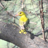 Indian Golden Oriole(female)