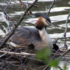 Nesting great crested grebes