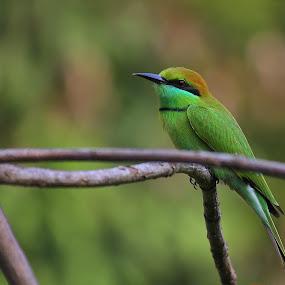 by Prithwish Mondal - Animals Birds ( bird, indian bird )
