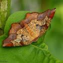 Friendly probole moth