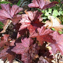 Heuchera (coral bells red)