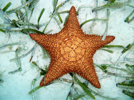 Snorkelers can view perfect starfish, sea star, nestled in the sandy lagoons of Cozumel.