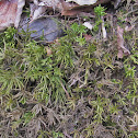 American tree moss