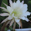 Queen of the Night Night Blooming Cereus