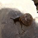 Grove snail/Mali vrtni polž