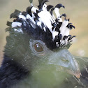 Mutum/Bare-Faced Curassow [Female and Male]