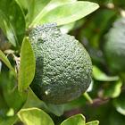 Sanbokan Lemon