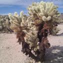 Cholla cactus