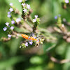 Milkweed Assassin Bug (nymph)