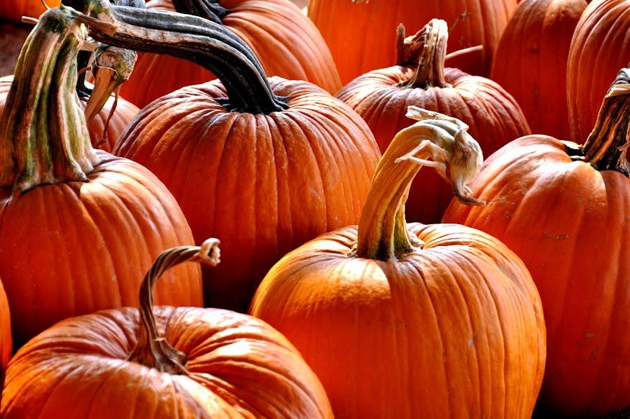 Long Stemmed Pumpkins by Jane Singer - Food & Drink Fruits & Vegetables ( long stemmed pumpkins, pumpkin patch, nature, colorful, color, fall, pumpkins, pumpkin close up,  )