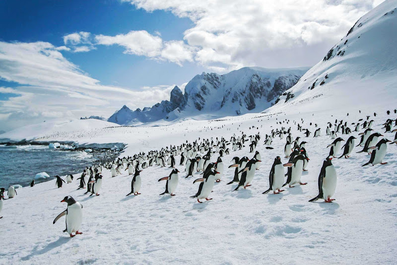 A large group of penguins encountered by participants in a G Adventures expedition.