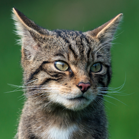 Scottish wildcat (Felis silvestris) by Peter Greenhalgh - Animals - Cats Portraits ( scotland, cat, wildcat, scottish, wildlife, felis silvestris )