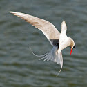 Arctic Tern - Kría