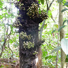Fig Tree (Species?)