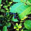 Polka dotted wasp moth
