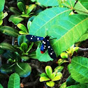 Polka dotted wasp moth