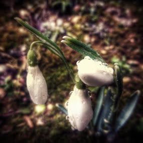 Drops in Garden by Nat Bolfan-Stosic - Uncategorized All Uncategorized ( sad, white, drops, garden, flower )