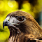 Red-Tail-Portrait_IMG_3143.jpg
