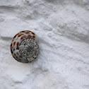 Mediterranean Snail