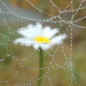 Daisy Drops by Tammy Drombolis - Nature Up Close Webs (  )