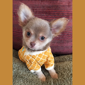 Rio modeling Boots & Barkley.  by Paige Elizabeth - Animals - Dogs Portraits ( model chihuahua rio lavender chocolate blue love mine little tiny baby puppy clothes modeling boots barkley )