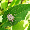 Shield bug,stink bug