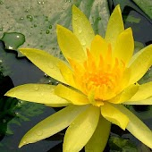 Pretty Lotus Flora Pics