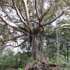 Moreton Bay Fig (at Lost World)