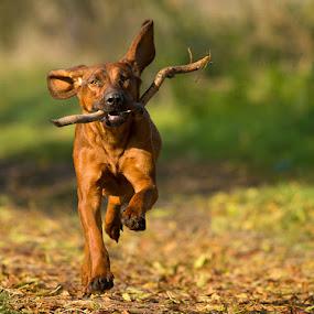 Csipke by Zoltán Túri - Animals - Dogs Playing