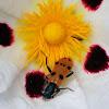 Escarabajo de ocho puntos