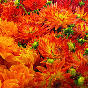 Orange You Glad? by Jennifer Wheatley-Wolf - Flowers Flowers in the Wild ( orange, jennifer wheatley-wolf, dalia, flowers,  )