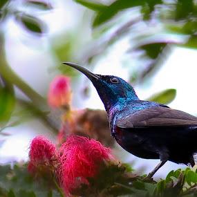 Purple Sunbird by Jayanto Dey - Animals Birds
