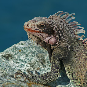 Iguana on the Rocks by Susan Fries - Animals Reptiles ( iguana, reptile, rocks, sunning, animal,  )