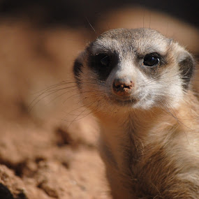 Meerkat finished burrowing by Sanjeev Sampath - Animals Other Mammals ( meerkat,  )