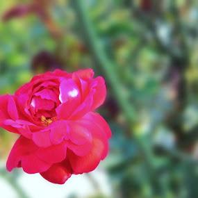 Queen... by Debabrata Deb - Flowers Single Flower