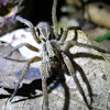 Wolf Spider, Aranha de Jardim