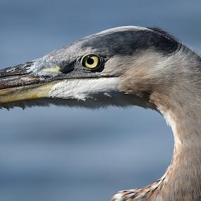 Close Up by Jared Lantzman - Animals Birds ( bird, beak, ocean, fishing, close up, eye,  )