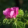 Salt spray rose